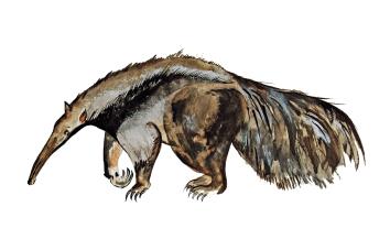 Ameisenbär - Anteater