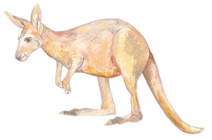 Känguru - Kangaroo