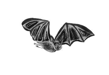 Vampirfledermaus - Vampire Bat